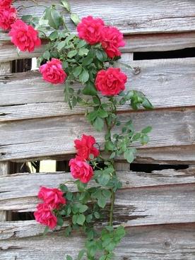 roses flowers rose