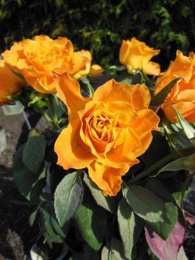 roses orange roses bouquet