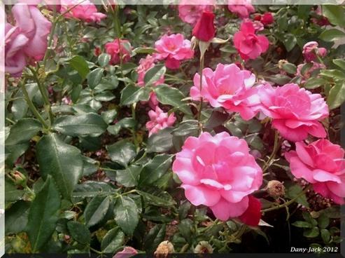 roses palmengarten