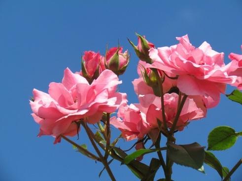 roses pink flower
