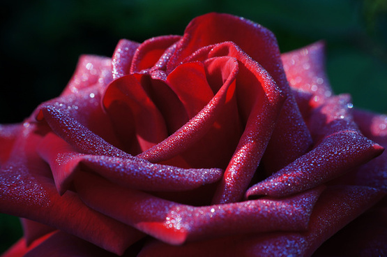 rote rose mit morgentau red rose with morning dew
