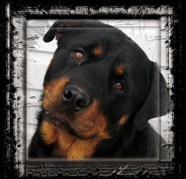 rottweiler dog animal