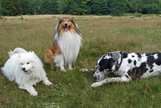 rough collie collie samoyed