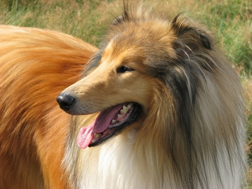 rough collie dog collie