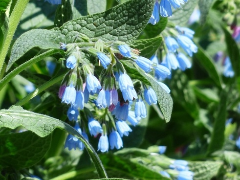 rough comfrey flower blue