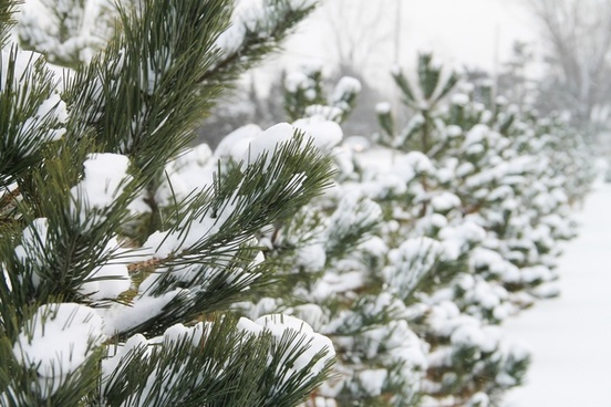 row of pine trees covered in snow