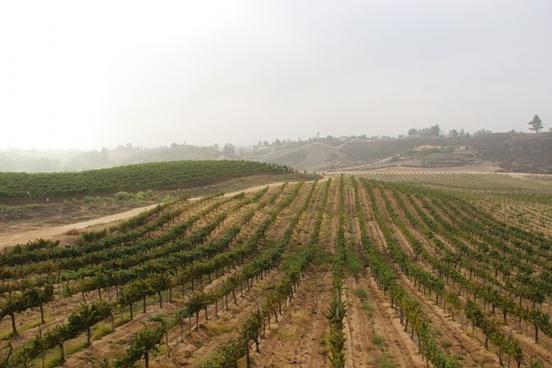 rows of grape vines in field