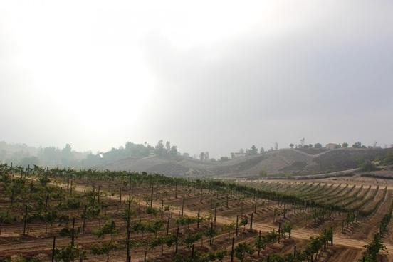 rows of grape vines in vineyard
