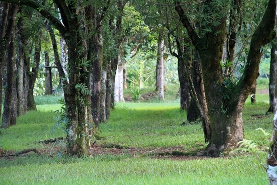 rows of trees in green grass
