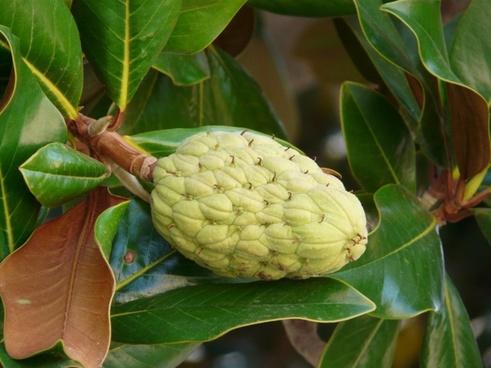 rubber tree ficus elastica fig tree