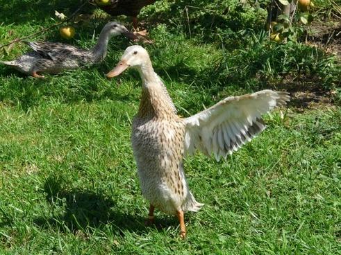 running duck duck wing beat