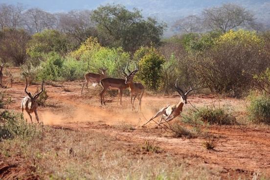 safari kenya antelope