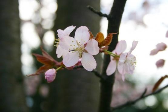 sakura spring japan