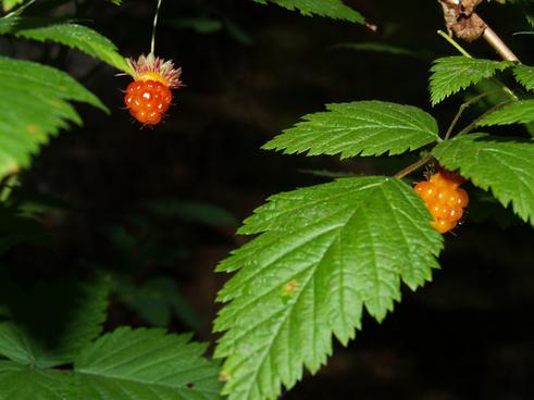 salmon berries rubus spectabilis pursh