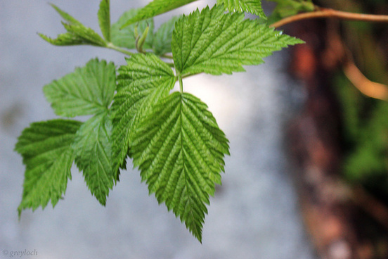 salmonberry leaves