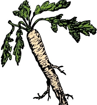 Salsify Food Plants Root clip art