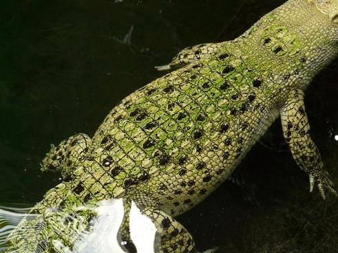 saltwater crocodile crocodile reptile