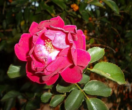 sam 0619 raggedy red rose