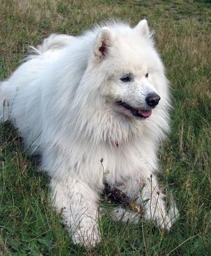 samoyed dog canine