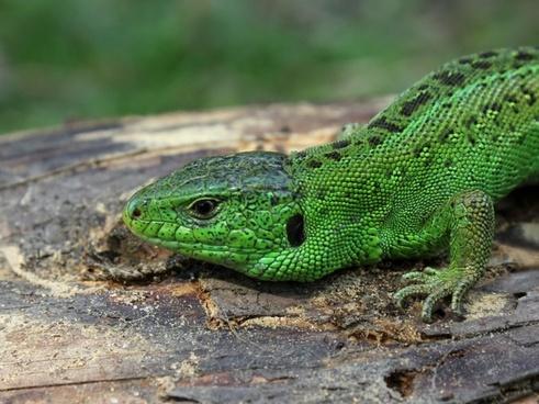sand lizard lizard lacerta agilis