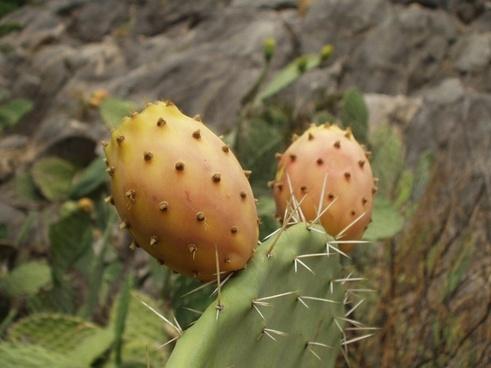 sardinia prickly pear cactus