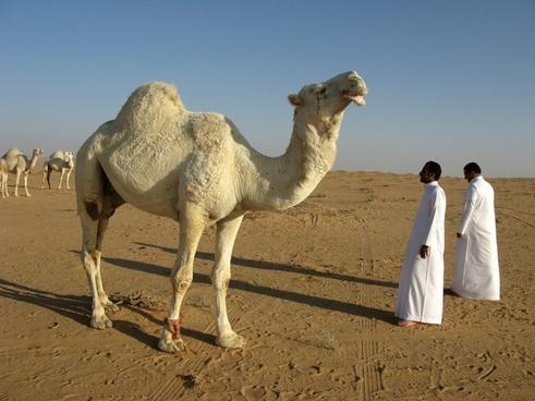 saudi arabia desert camel