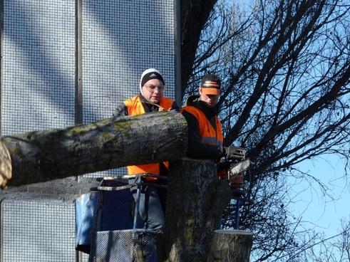 saw cut trees old tree