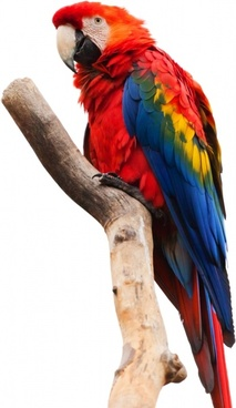 scarlet macaw isolated