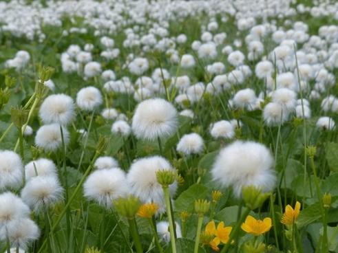 scheuchzers cottongrass eriophorum scheuchzeri sour grass greenhouse
