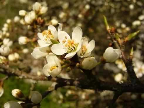schlehe flower spring
