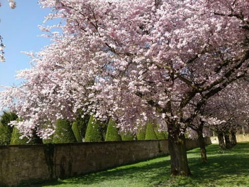 schlossgarten cherry blossom nature