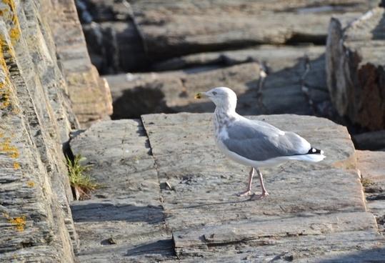 sea bird seagulls
