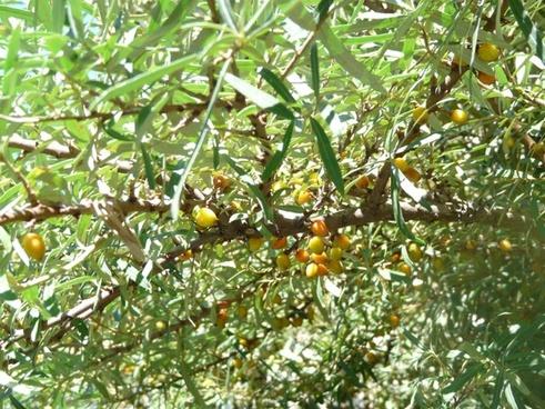 sea buckthorn berries bush