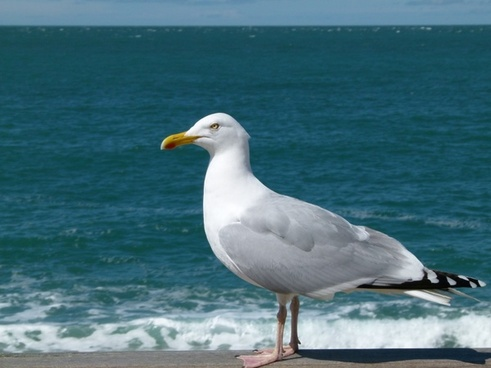 sea gull sea ocean