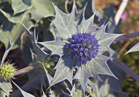 sea holly 1