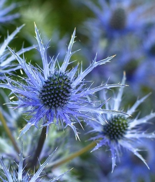 sea holly flower eryngium plant