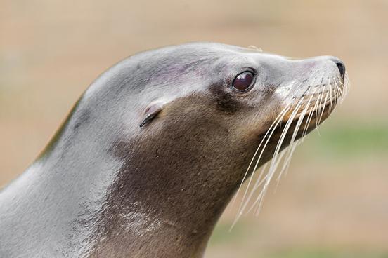 sea lion profile