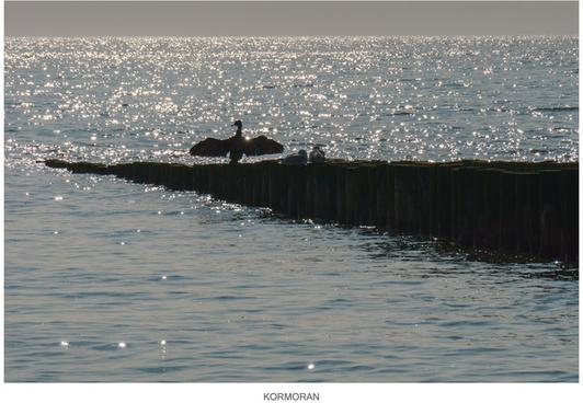 sea raven