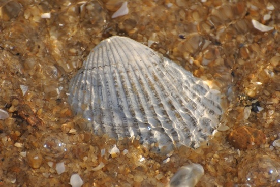 sea shell shells