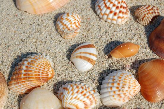sea shells 1