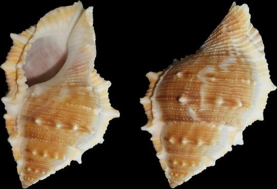sea snail snail bufonaria perelegans
