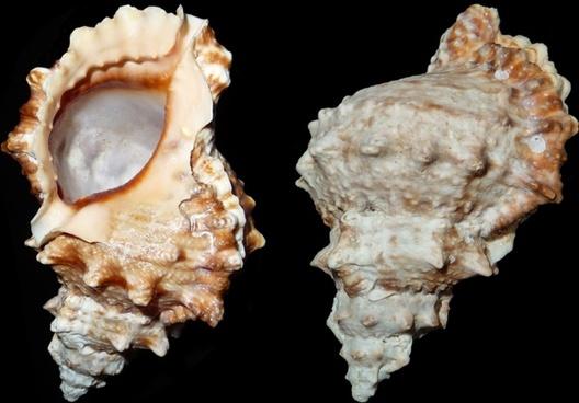 sea snail snail tutufa bufo