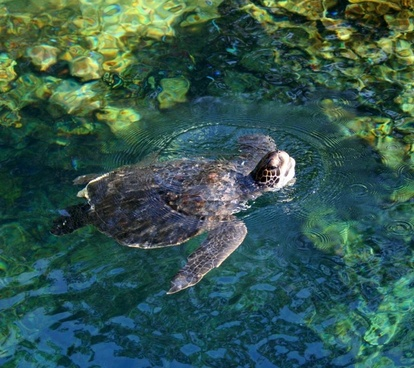 sea turtle marine reptile swimming
