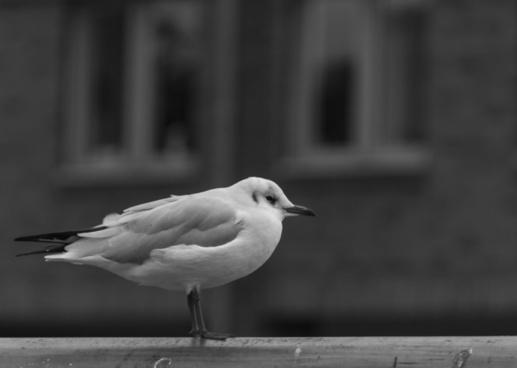 seagull 270365