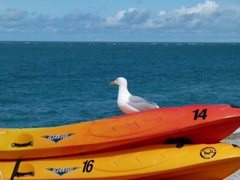 seagull bird fowl