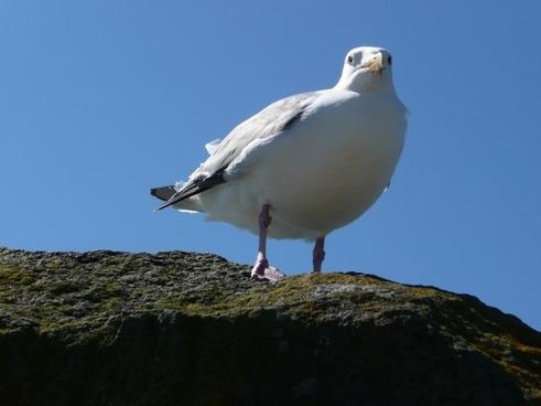 seagull bird pacific