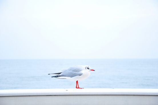 seagull bird standing on a seawall against soft blue water background