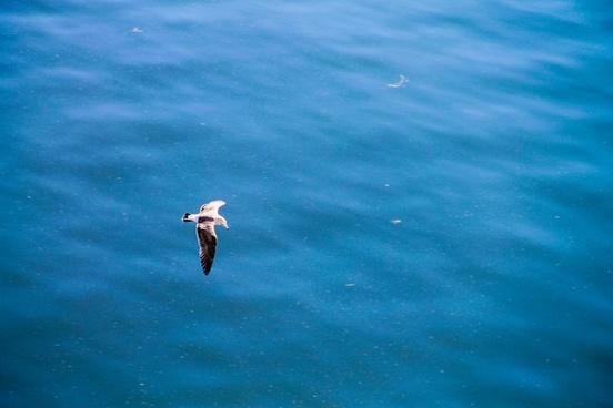 seagull flying over still blue ocean