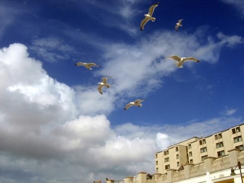 seagull gulls blue