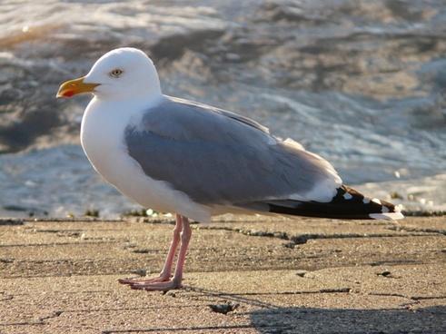 seagull herring gull fluffed up